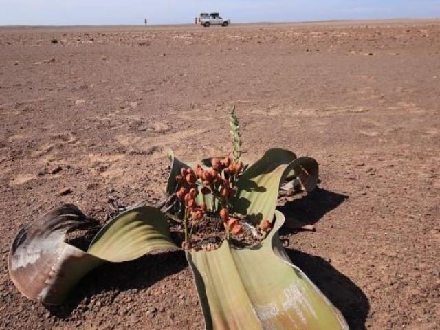 Damaraland, welwitschia, Namibia