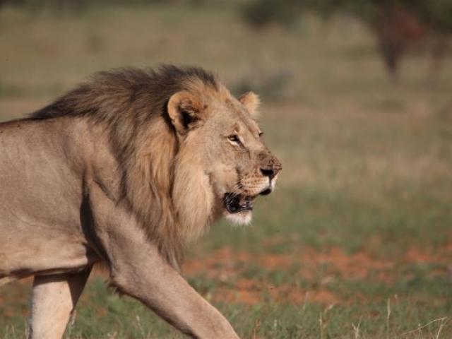 Etosha lion portrait, Namibia