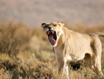 Lion portrait, Kgalagadi South Africa