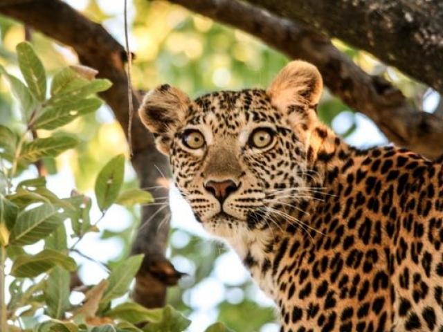 Female leopard, Moremi Game Reserve, Botswana