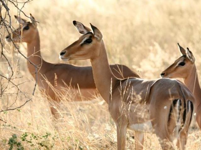 Impala, Savute, Chobe National Park, Botswana