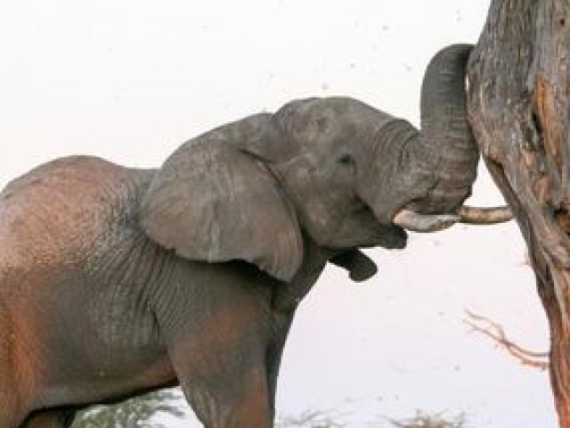 Elephant shaking a tree for seed pods, Savute, Chobe National Park, Botswana