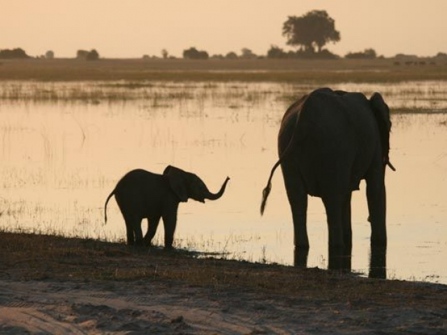 Elephant drinking at sunset, Chobe Waterfront, Chobe National Park, Botswana