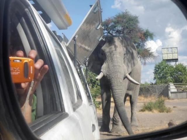 Up close and personal wish Savute's resident elephant,  Chobe National Park, Botswana
