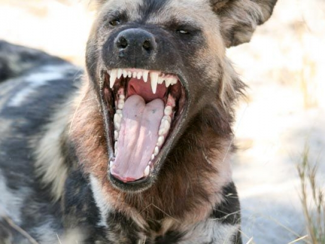 Wild dog yawning, Savute, Chobe National Park, Botswana