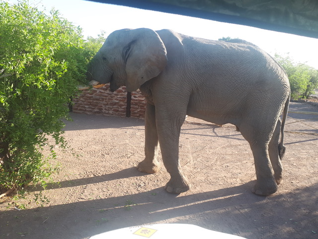 Elephant visitor to Palmwag Lodge campsite, Damaraland