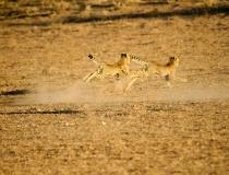 Adolescent cheetah, Kgalagadi Transfrontier Park, South Africa