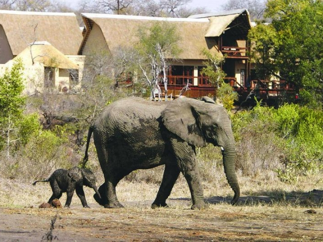Elephant sauntering past Elephant Plains Lodge