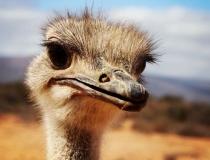 Ostrich Oudtshoorn, South Africa