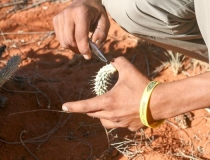 Learning about bush foods with the #Khomani San, Kalahari, South Africa