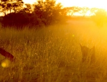 Golden light in the Kgalagadi Transfrontier Park, South Africa