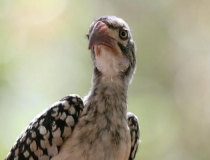 Red-billed hornbill, Kruger National Park, South Africa