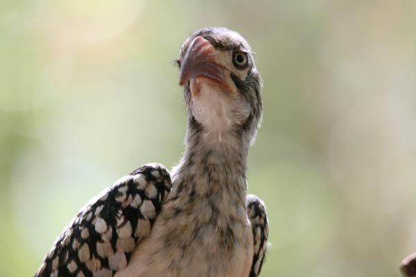 Hornbill, Mozambique