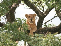 Lion hanging out in a tree, Hluhluwe National Park, Kwa-Zulu Natal, South Africa