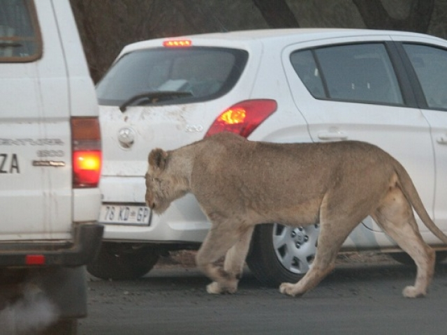 Lioness threading her way between self-drive vehicles