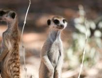 Meerkats, Kgalagadi Transfrontier Park, South Africa