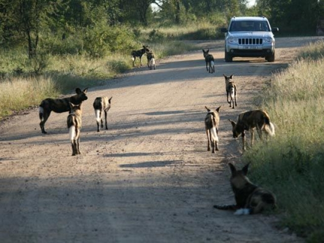 Wild dogs in Kruger National Park - what a sight