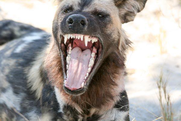 Wild dog in Savute