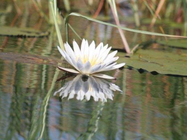 Water Lily Okavango Delta Botswana
