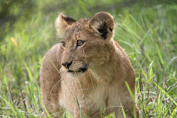 Look out for Lion cubs, in Kruger National Park, South Africa as part of your tailor made South Africa holiday