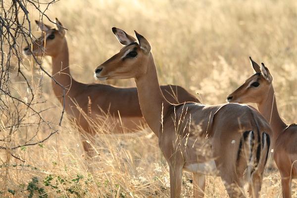 Botswana Moremi Savute Chobe