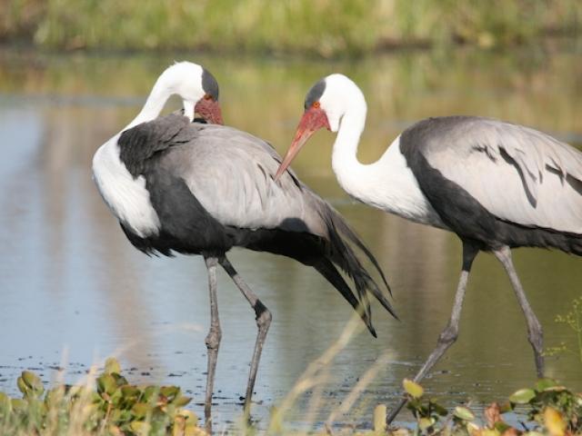 Wattled cranes Moremi