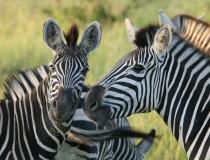 Zebra, Kruger safari, South Africa