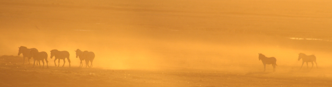 Sunset zebras, Chobe Waterfront