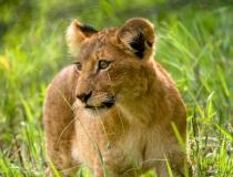 Kruger lion cub, South Africa