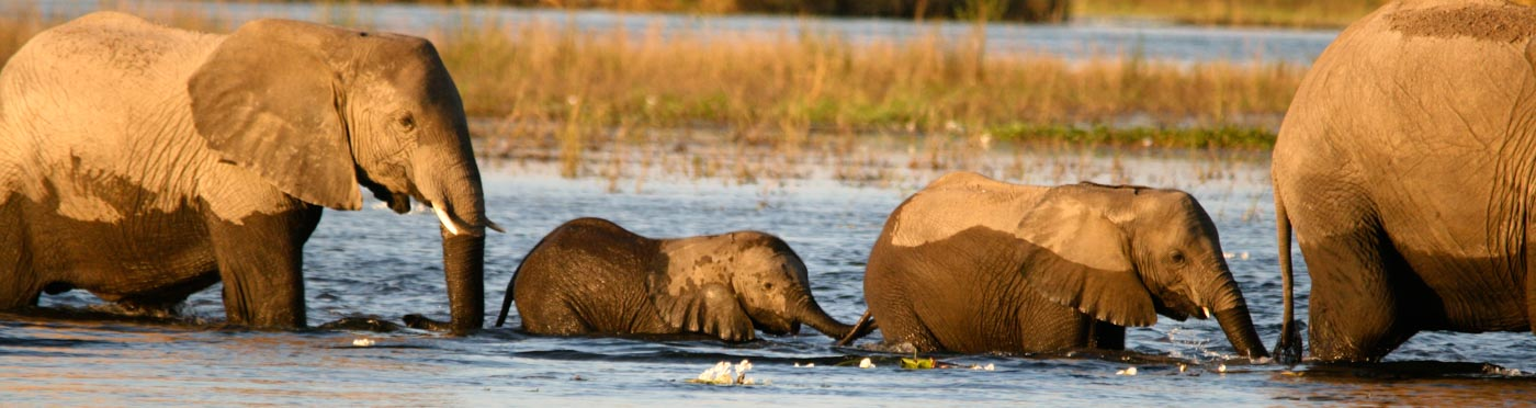 Elephants crossing Chobe River
