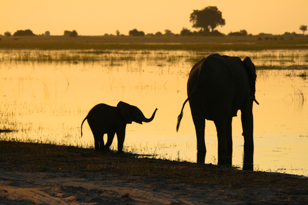 Elephants at sunset, Chobe Waterfront