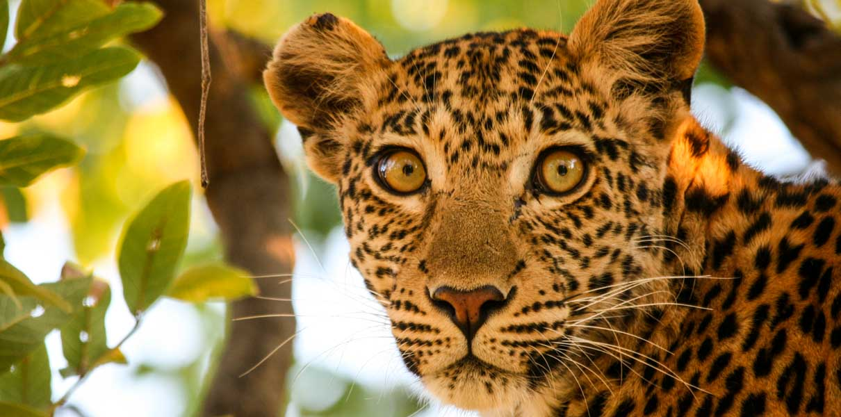 Moremi Leopard, Botswana
