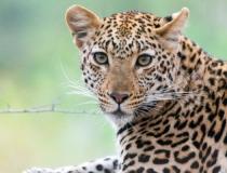 Leopard, Kruger, South Africa, banner