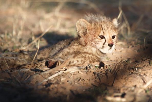 Kgalagadi cheetah