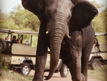 Guided safari, elephant, Kruger, South Africa