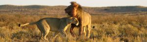 Honeymoon safari lions