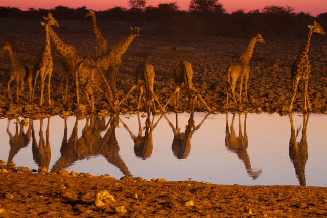 Giraffe at waterhole, Etosha National Park