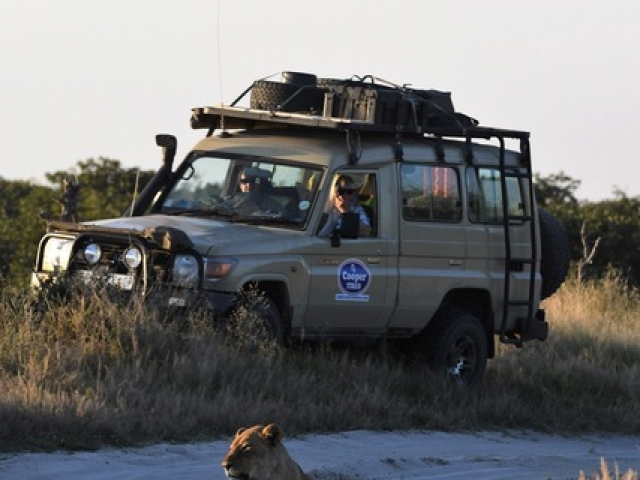 Lion, Moremi Game Reserve