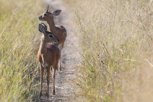 Steenbok, Savute (Chobe National Park)