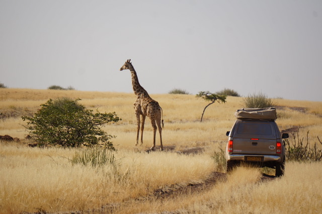 Giraffe, Palmwag Reserve