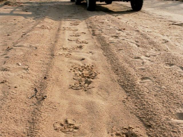 Essential Botswana, lion tracks