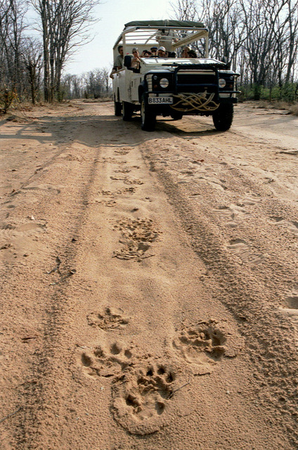 Essential Botswana, lion tracks