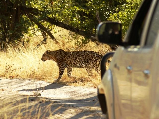 Leopard, Moremi Game Reserve