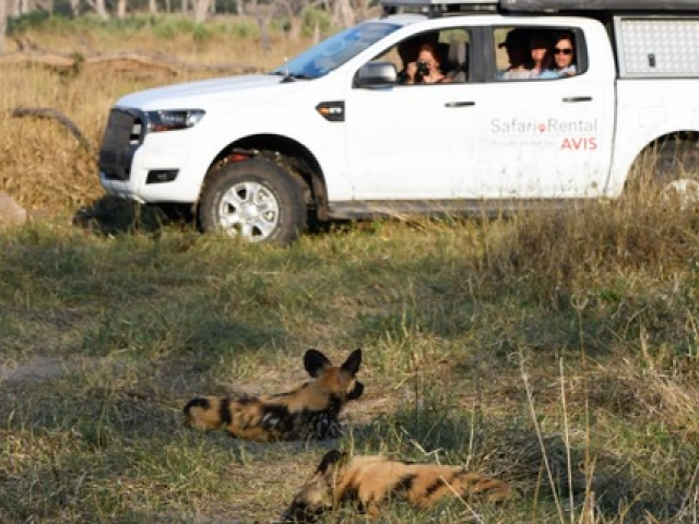 Wild dog, Moremi Game Reserve