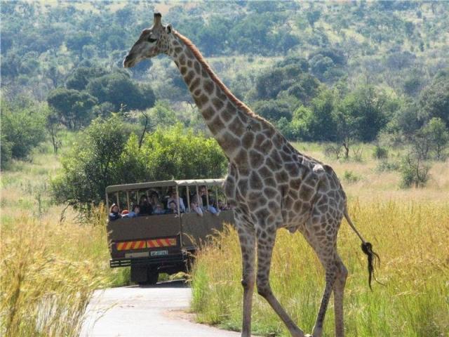 Game drive in Pilanesberg Game Reserve