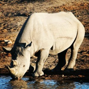 Etosha National Park in Namibia is the perfect place to see endangered black rhino