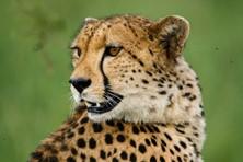 Cheetah, Kruger National Park