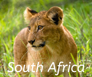 Travel itineraries southern Africa - South Africa, Lion