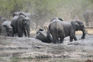 Judith Elephants - Moremi