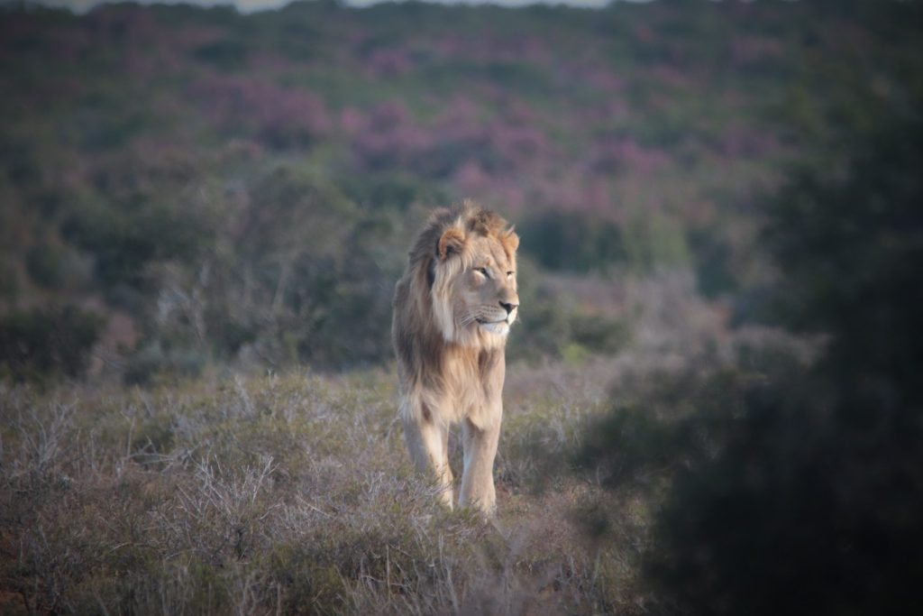 Jack a lion of the Addo Elephant Park